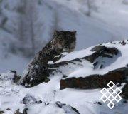 В Туве впервые удалось сфотографировать снежного барса