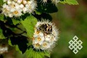 Тува для энтомологов — белое пятно