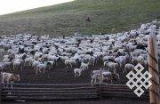 Монголия потеряла более 12 миллионов скота