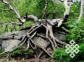 Жажда жизни. Если бы не увидел сам, не поверил бы, что дерево может прорасти поверх скалы (Хакасия).