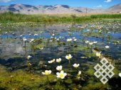 A blossoming swamp. In the Altay mountains even swamps are beautiful.