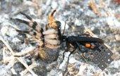 А. Куксин. Земляная оса и тарантул