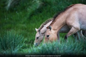Возвращение лошади Пржевальского