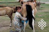 С доения кобыл начинается приготовление традиционного кумыса.
