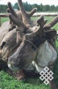 В Туве продолжают принимать меры по увеличению поголовья северных оленей