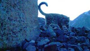 Экологи впервые получили снимки котят ирбиса на хребте Чихачева