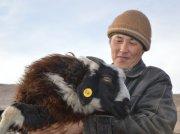 Ученые заинтересовались феноменом многоплодности тувинской овцы