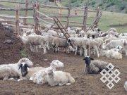 Тувинская овца станет объектом исследований двух сельскохозяйственных НИИ – Тувы и Хакасии
