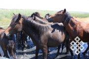 В Хакасии ученые обсудят проблемы коневодства Средней Сибири