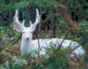 Премьера телевизионного документального фильма «В поисках белого оленя»