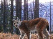 Рысь может исчезнуть на юге Сибири