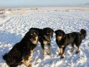 В Калмыкии зарегистрирована порода калмыцкой пастушьей собаки